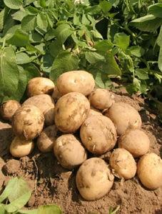 """ПП """"Імпак"""" <br> Агрінос Б на Картоплі <br> +2500 кг"""