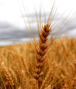 """ТОВ """"Інтер Агро Інвест"""" Агрінос Б на пшениці озимій (+300 кг)"""
