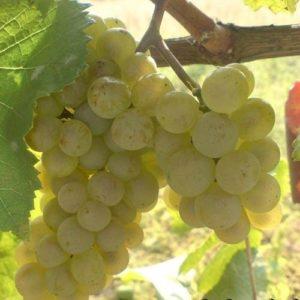 ТОВ «Ozakay-Agro» <br> Агрінос Б на Винограді <br> +660 кг